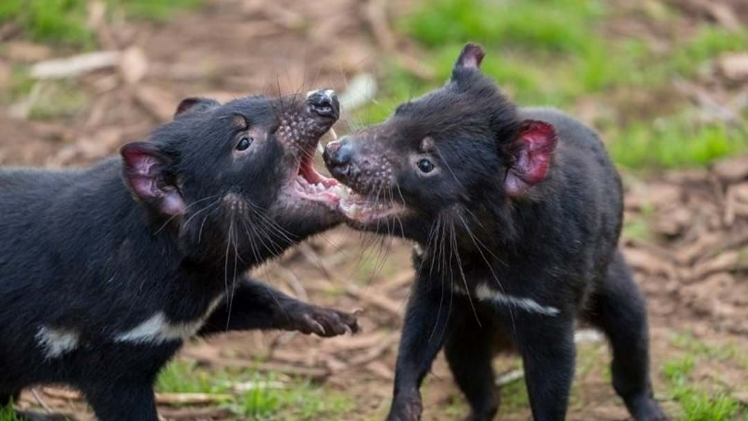 Article heading image for Baby Tassie Devils Born On Mainland for First Time in 3000 Years