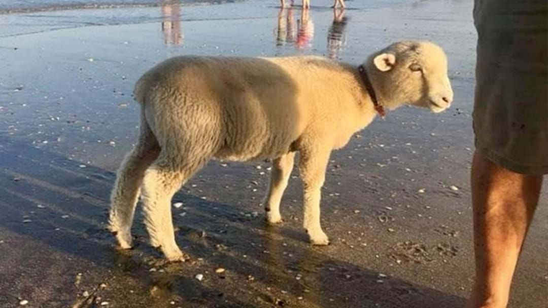 Article heading image for Someone In New Zealand Brought Their Pet Sheep To The Beach, Because New Zealand