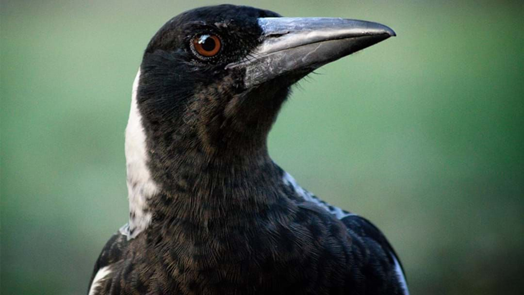 Article heading image for LISTEN: Is This The Secret To Avoiding Magpie Attacks?