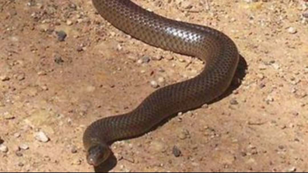 Article heading image for 24-Year-Old NSW Man Dead After Brown Snake Bite