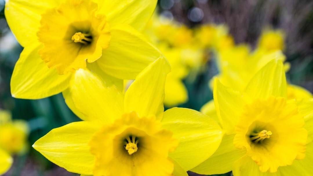 Article heading image for Here's The Locations Where You Can Buy Beauties For Daffodil Day