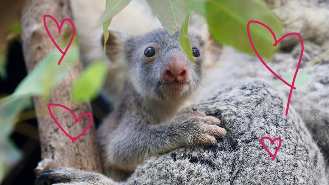 Article heading image for Australian Reptile Park Had A Baby Boom & Now There Are A Bunch Of Koala Joeys To See!
