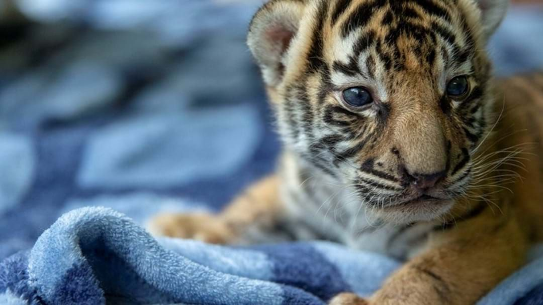 Article heading image for Tiger Cubs Move To New Home At Dreamworld's Tiger Island