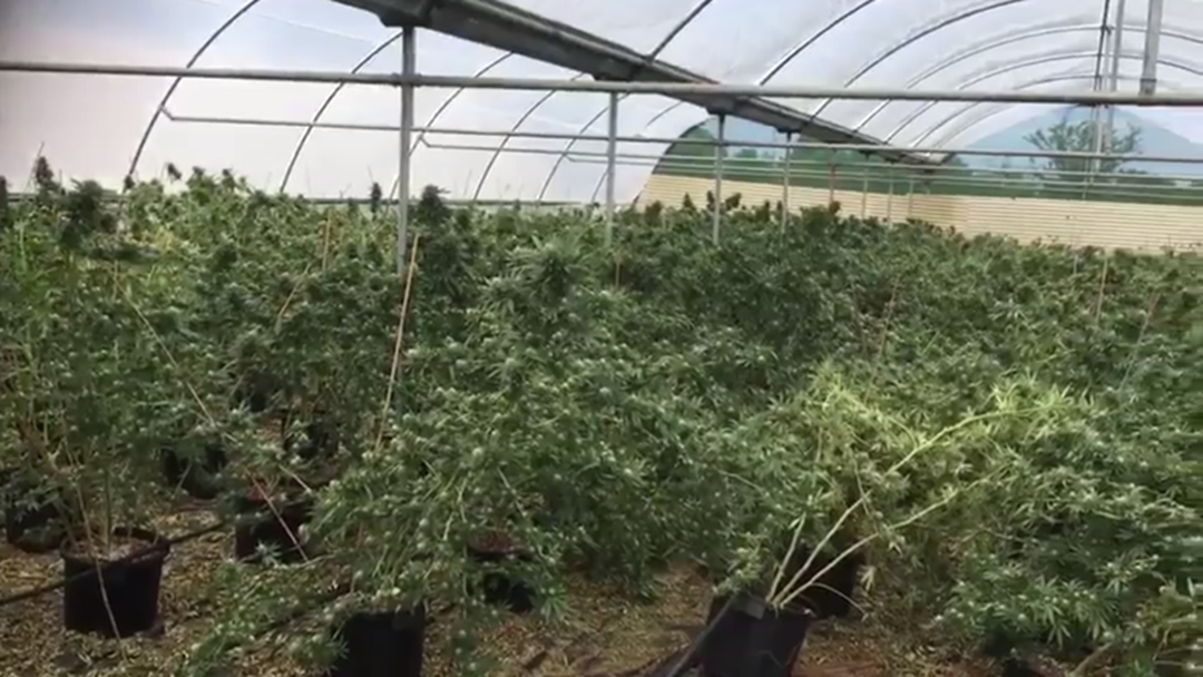 Article heading image for Drug Raid Uncovers 1,200 Cannabis Plants