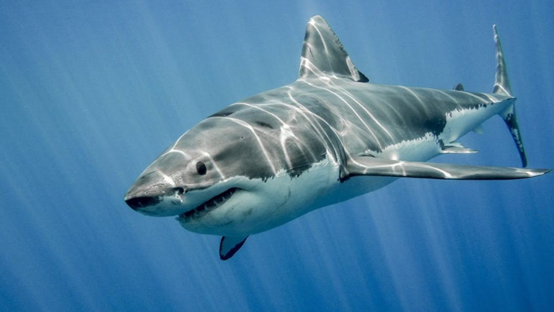 Article heading image for Non-Lethal Shark Drum Lines Will Be Set In Gracetown