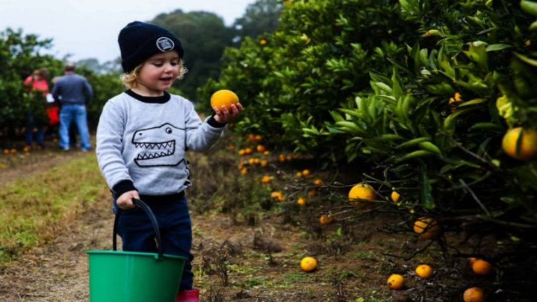 Article heading image for Foodies Flock To The Central Coast Hinterland For The Annual Harvest Festival