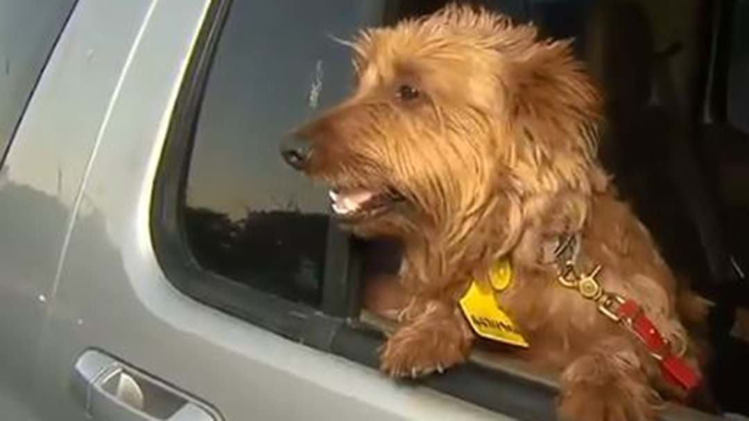 Article heading image for Rusty The Terrier Has Scored A Free Ride Home From SA To QLD