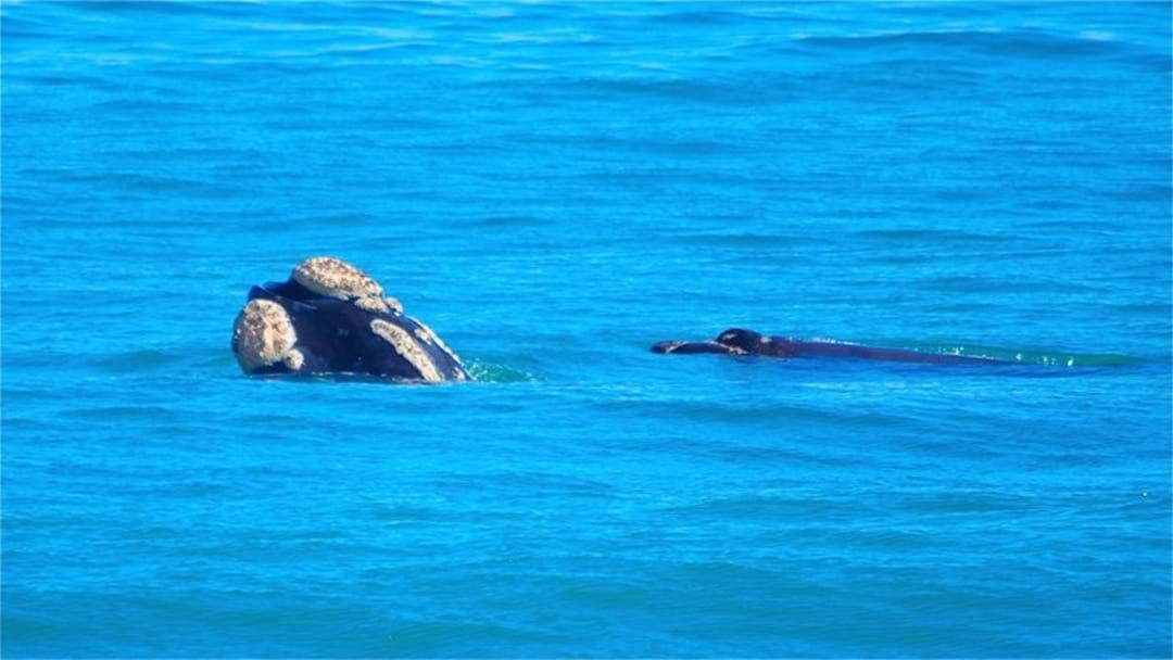 Article heading image for Whales Spotted Close To Perth Beaches Again