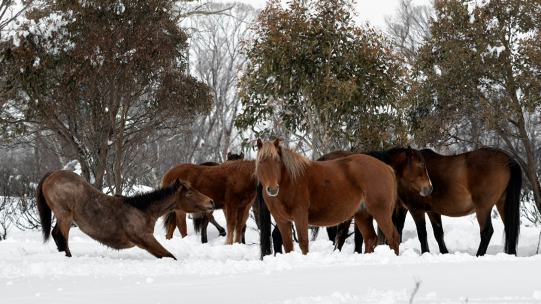 Article heading image for Canberra Plans to Fix Brumby Issue in the High Country