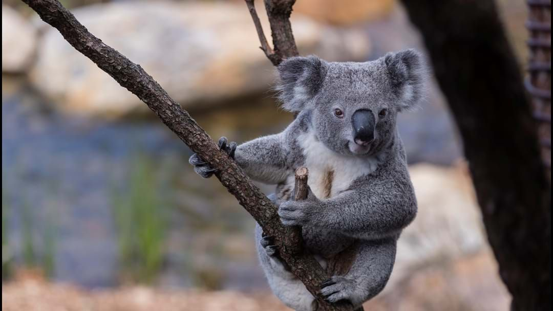 Article heading image for More Than 350 Koalas Have Been Tragically Killed By Bushfires In The Past Week