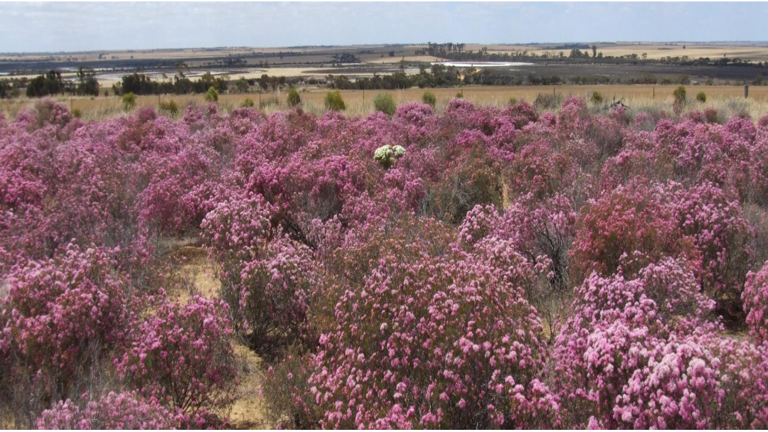 Article heading image for Wongan Hills Wildflower Festival