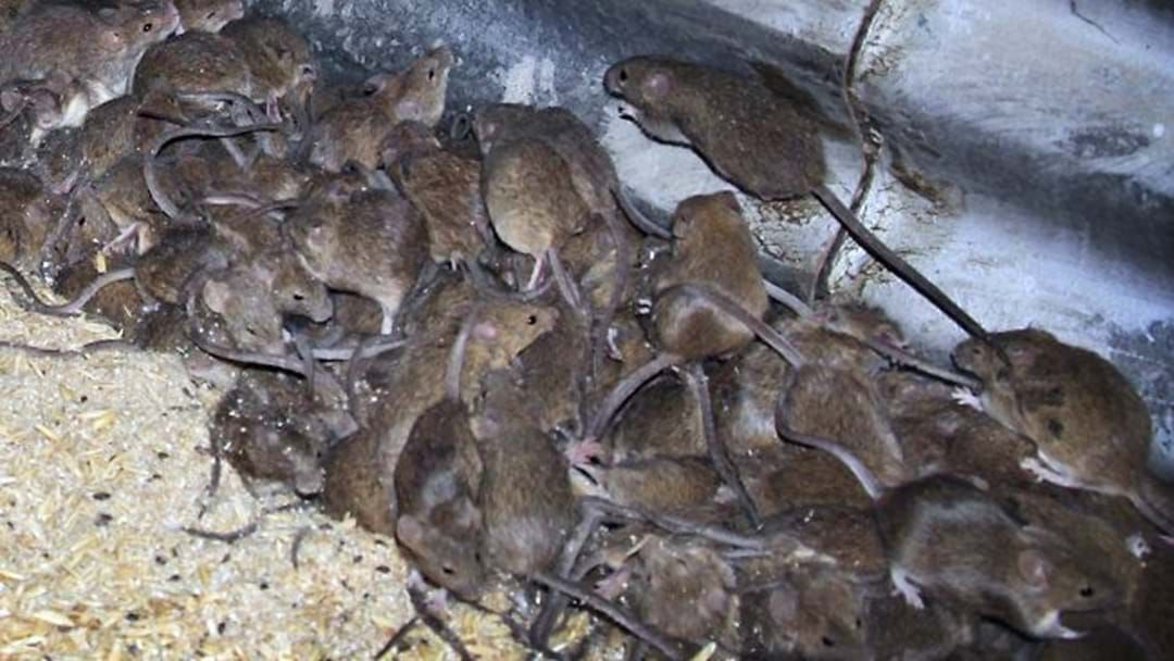 Article heading image for $50 million to end the mouse plague