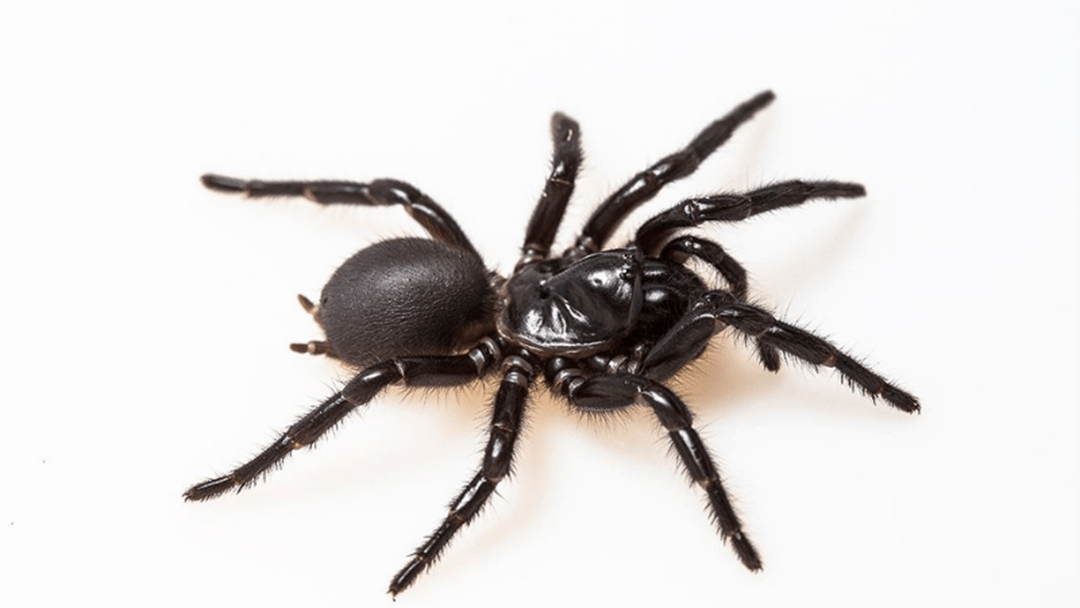 Article heading image for Venom From Fraser Island's Funnel Web Spider Could One Day Treat Heart Attack Victims