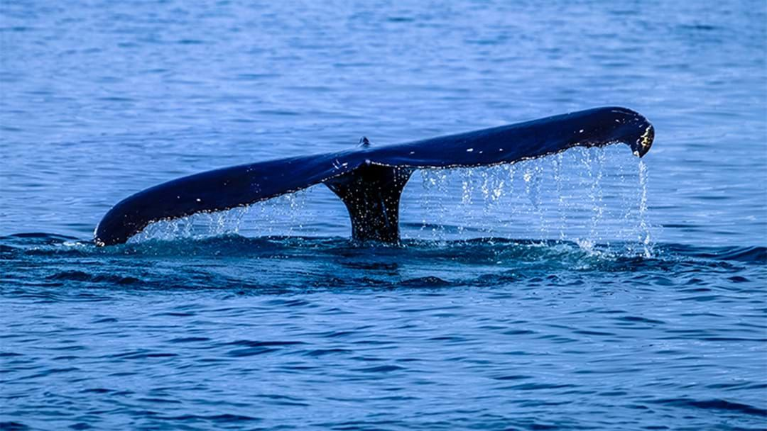 Article heading image for Whales Have Been Spotted Just Off The Coast From Perth