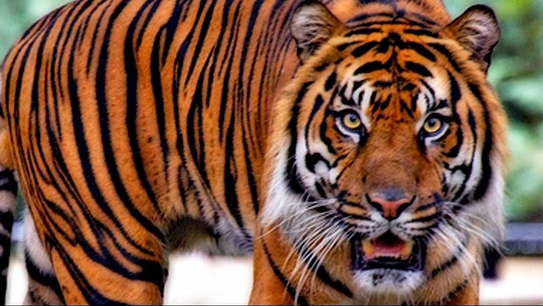 Article heading image for Houston Resident Looking For A Place To Smoke Finds Real Life TIGER