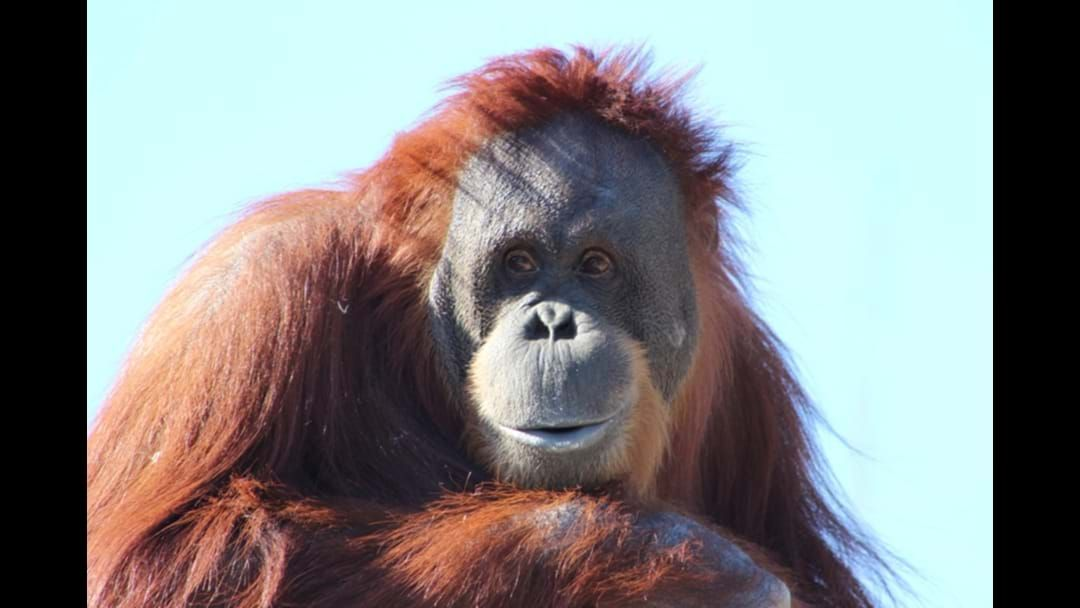 Article heading image for Melbourne Zoo In Lockdown After An Orangutan Escaped From His Enclosure