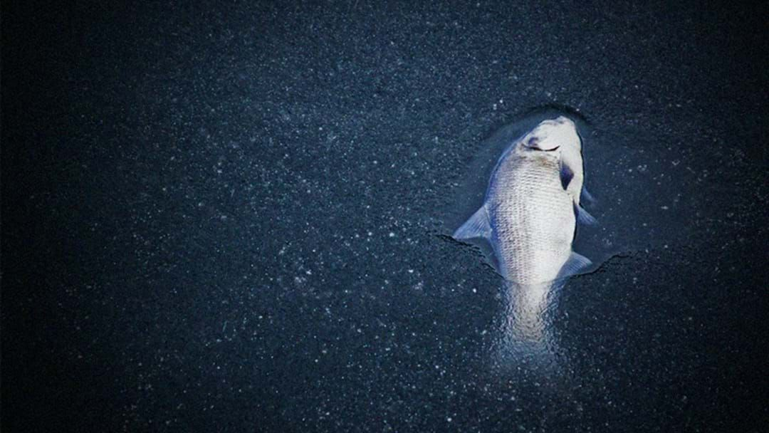 Article heading image for 'Thousands' of Dead Fish Surface on Gold Coast
