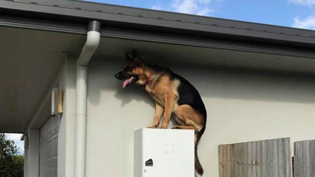 Article heading image for Townsville Dog Goes Viral For Being A Funny Boy