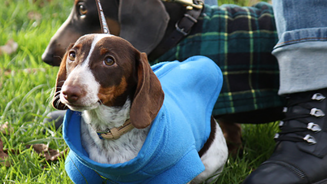 Article heading image for 10/10 CUTE LEVEL: Sausage Dog Racing Is Coming Back To Victoria