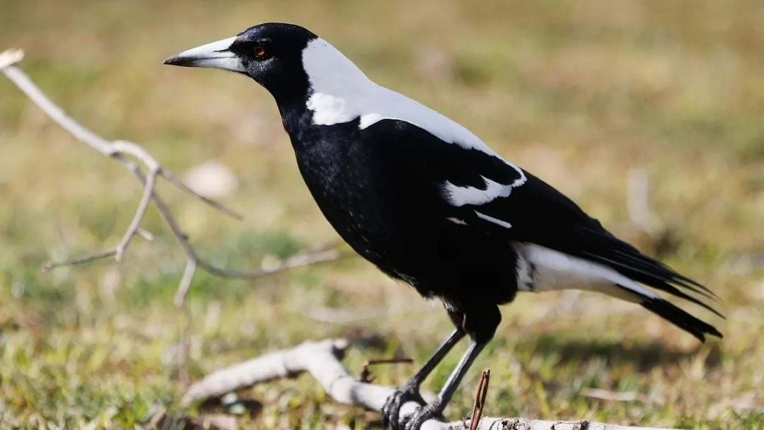 Article heading image for It's Magpie Season So Here's How To Avoid Being Swooped This Spring