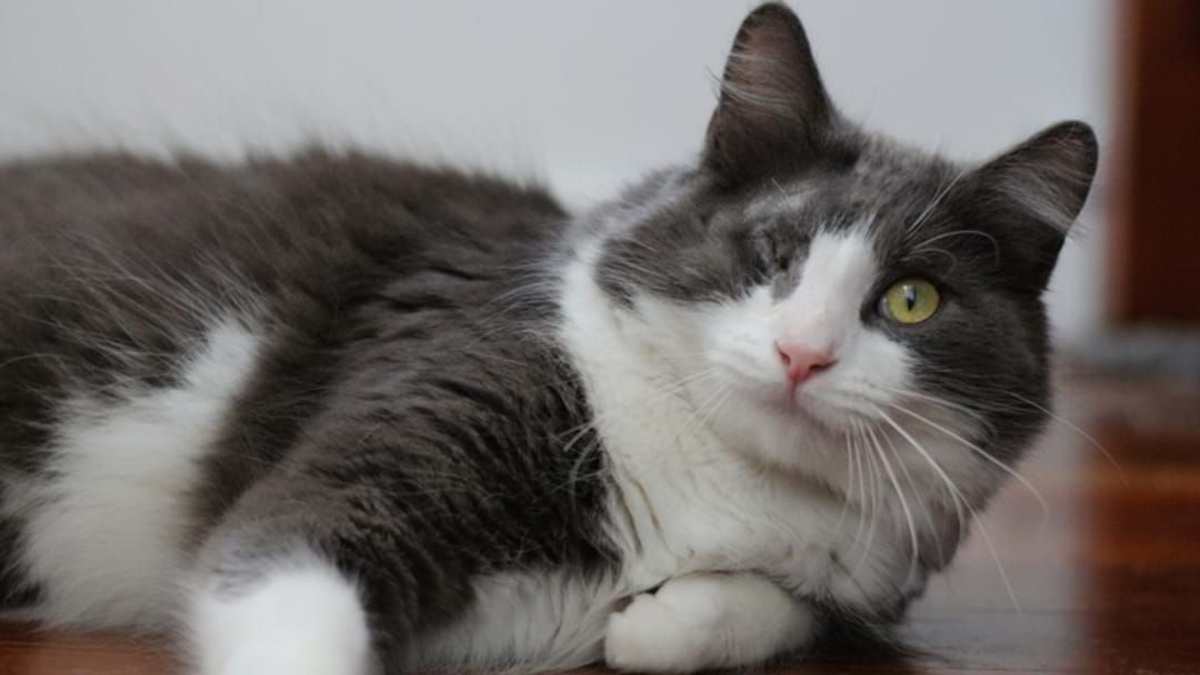 Article heading image for Cat Rescued By The RSPCA After Being Hurled Over A Fence Has Recovered And Needs A Home