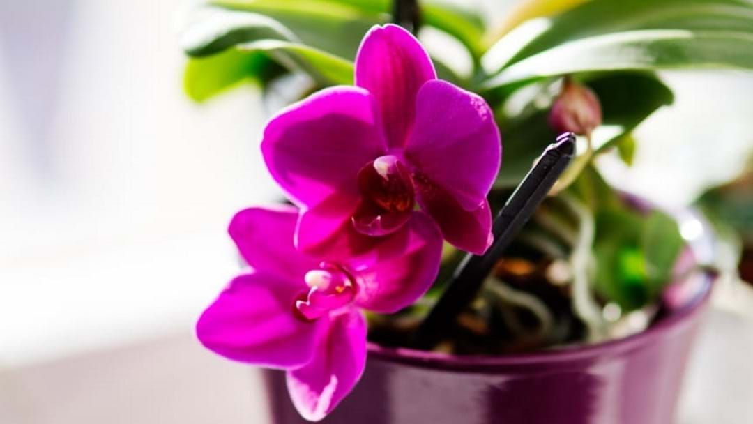 Article heading image for Your Plant Obsessed Friend Can Buy Award Winning Orchids This Weekend