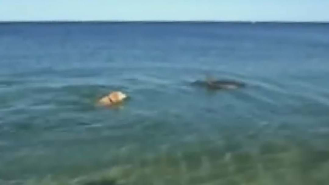 Article heading image for Amazing Footage Of Golden Retriever Frolicking With Dolphin In Rockingham