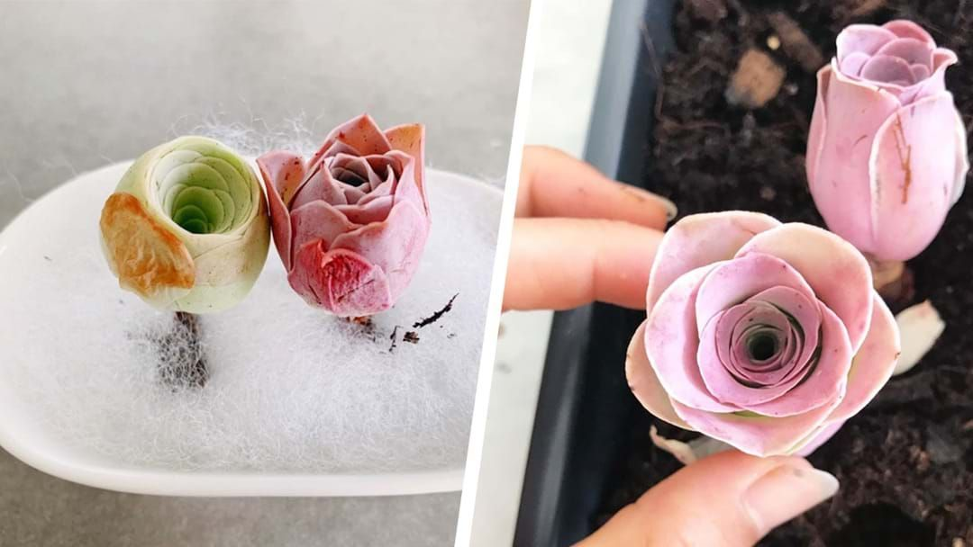 Article heading image for Pink Rose Succulents Are The Low-Maintenance Plants Your Life Needs