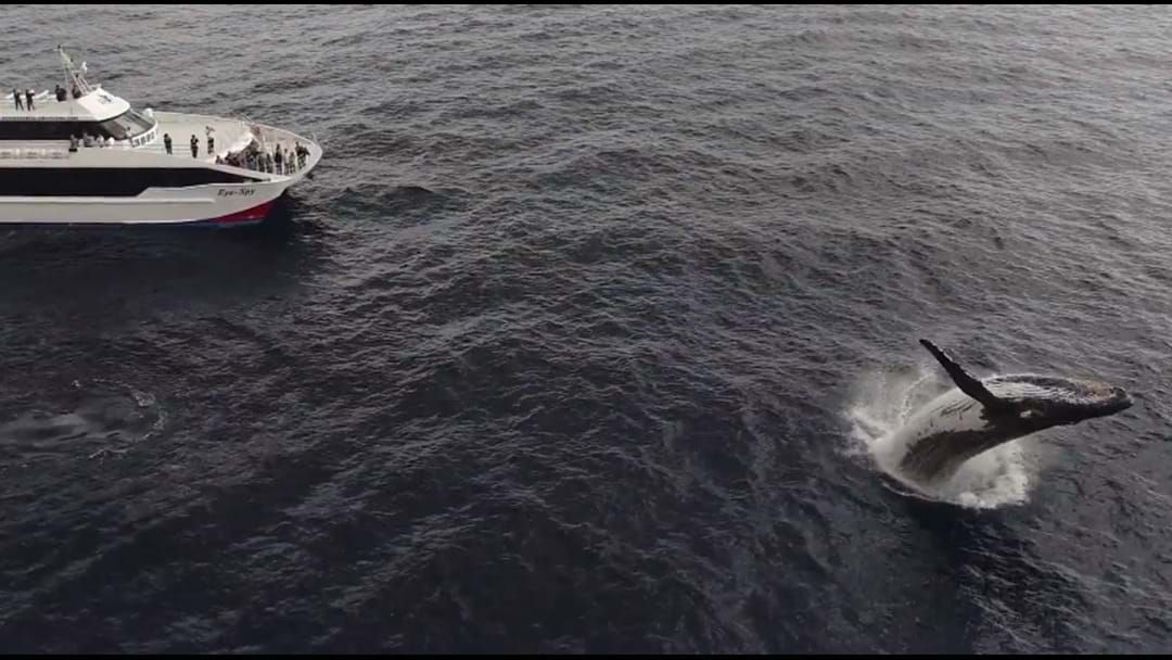 Article heading image for Whale Watching Tour Captures Amazing Drone Footage Off Moreton Bay