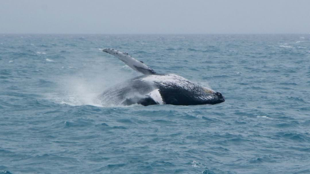 Article heading image for Poseidon Passengers Surprised By Humpback Whale