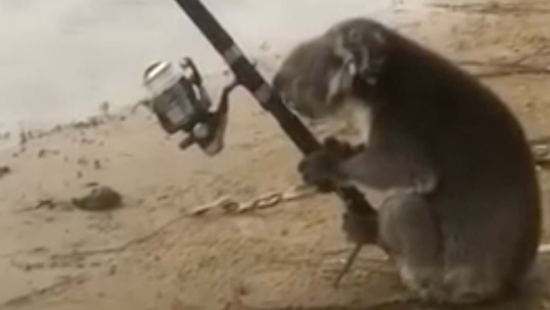 Article heading image for A Koala Actually Fishing Is The Most Aussie Thing You'll Ever See