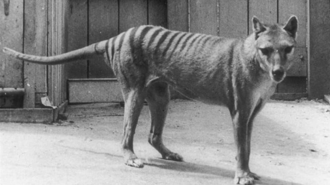 Article heading image for Dave From Hobart Says He's Seen A Tasmanian Tiger & Has Footage To Prove It