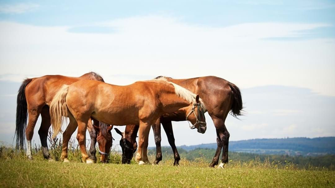 Article heading image for Horses Shot at Gatton