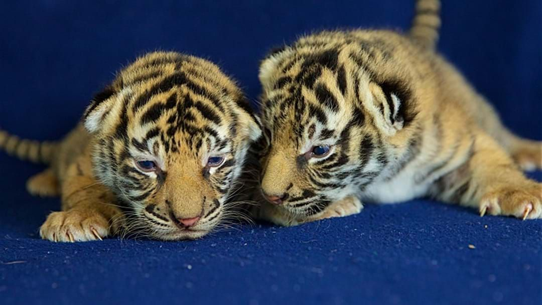 Article heading image for Dreamworld's Tiger Cubs Open Eyes For The First Time