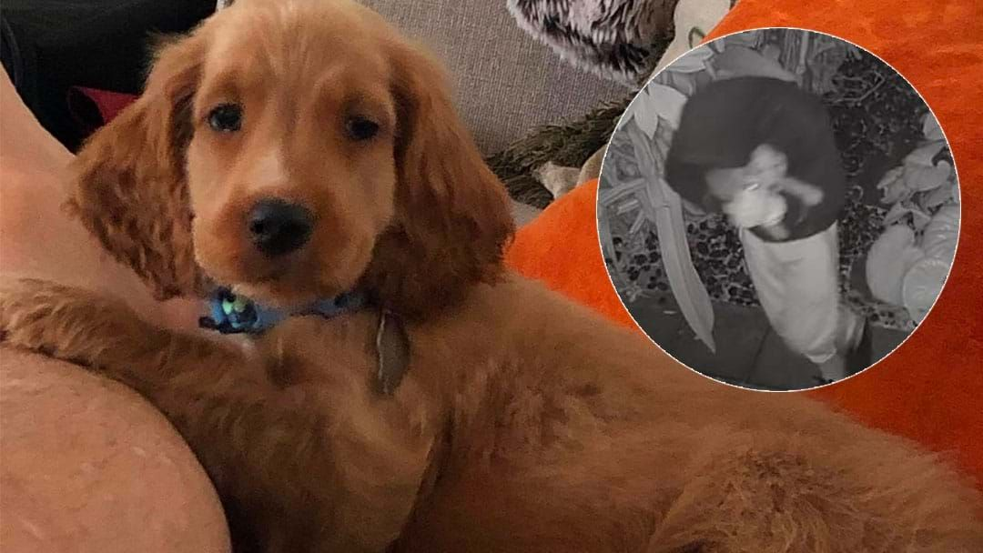 Article heading image for Swanbourne Family Offering $10K Reward After Their Puppy Was Stolen