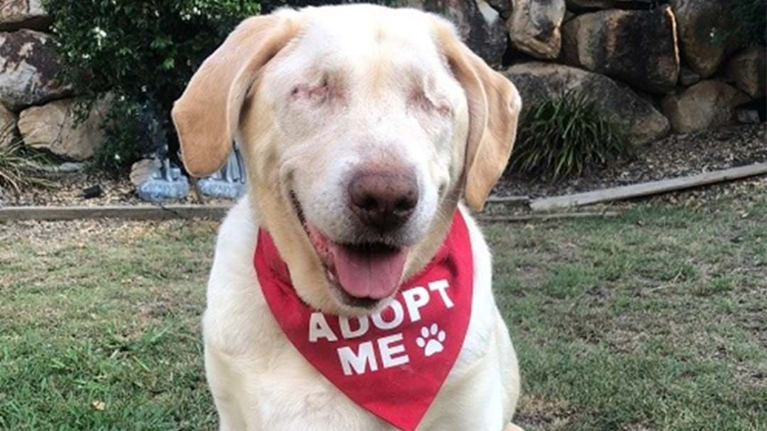 Article heading image for This Blind, Overweight, Orphaned Labrador Called Dumpling Needs A Home