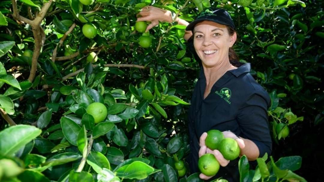 Article heading image for Bundy Limes Have Become A Local Booming Business!