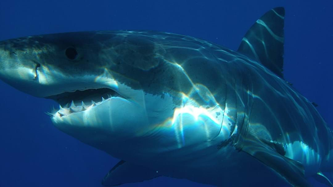 Article heading image for Shark Found On Swimming Side Of Shark Net At Quinns Beach