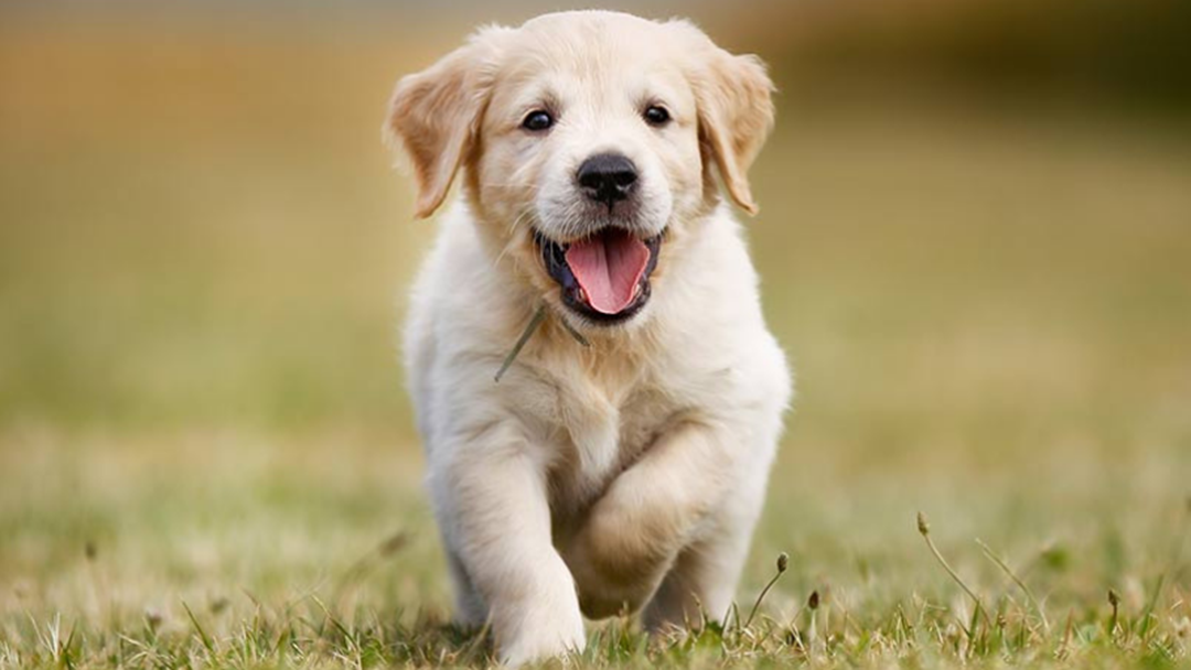Article heading image for Is Your Pup Up To Date With Vaccinations And Microchipping?