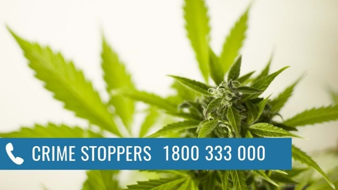 Article heading image for Two Men Growing Cannabis Plants Have Been Arrested In Shepparton And Moe