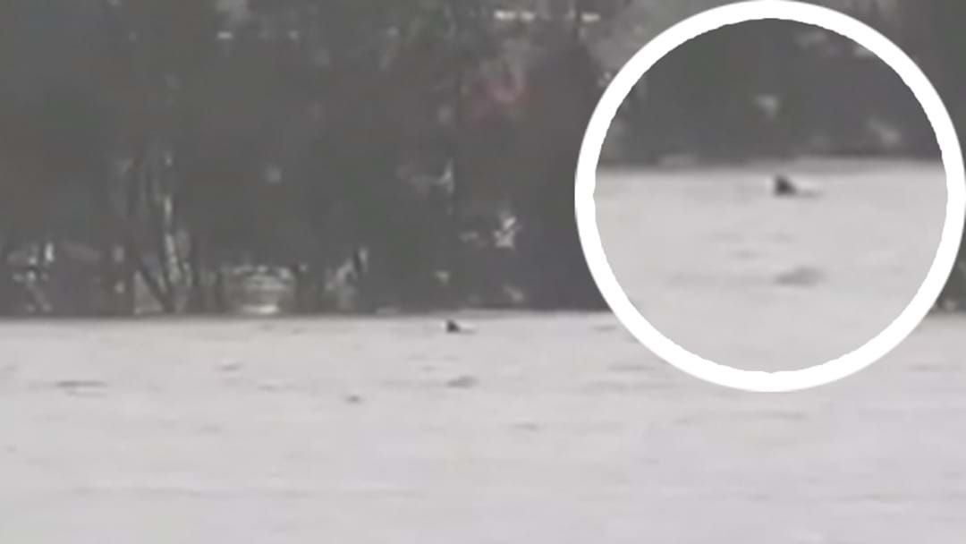 Article heading image for A Great White Shark Has Reportedly Been Spotted Swimming In The Flood Water Of The Northern Beaches