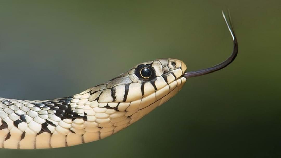 Article heading image for Snake catchers are working 20 hours per day
