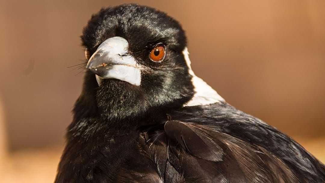 Article heading image for A Man Has Died While Trying To Avoid A Swooping Magpie In Wollongong