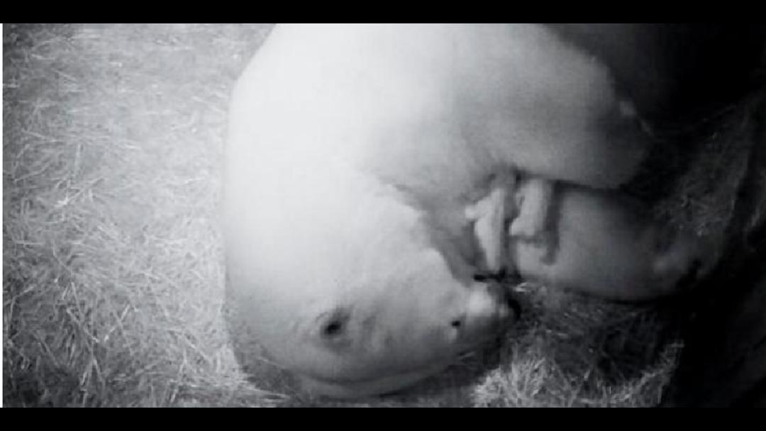 Article heading image for Polar bear cub dies at Sea World