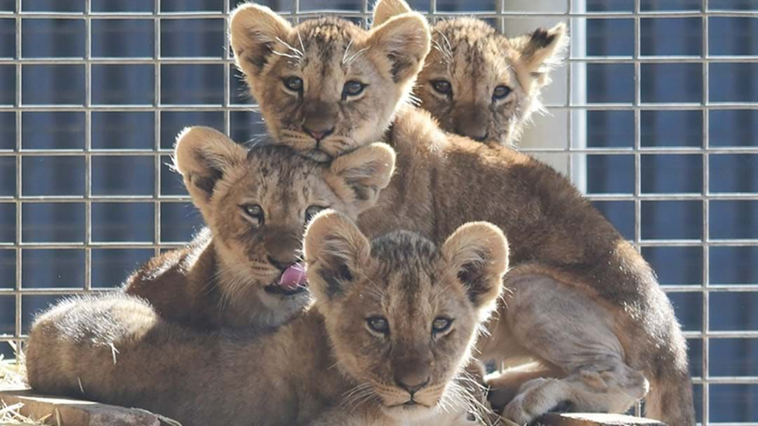 Article heading image for PSA: You Can Finally See These Adorable Baby Lions & Actually Get To Name One!