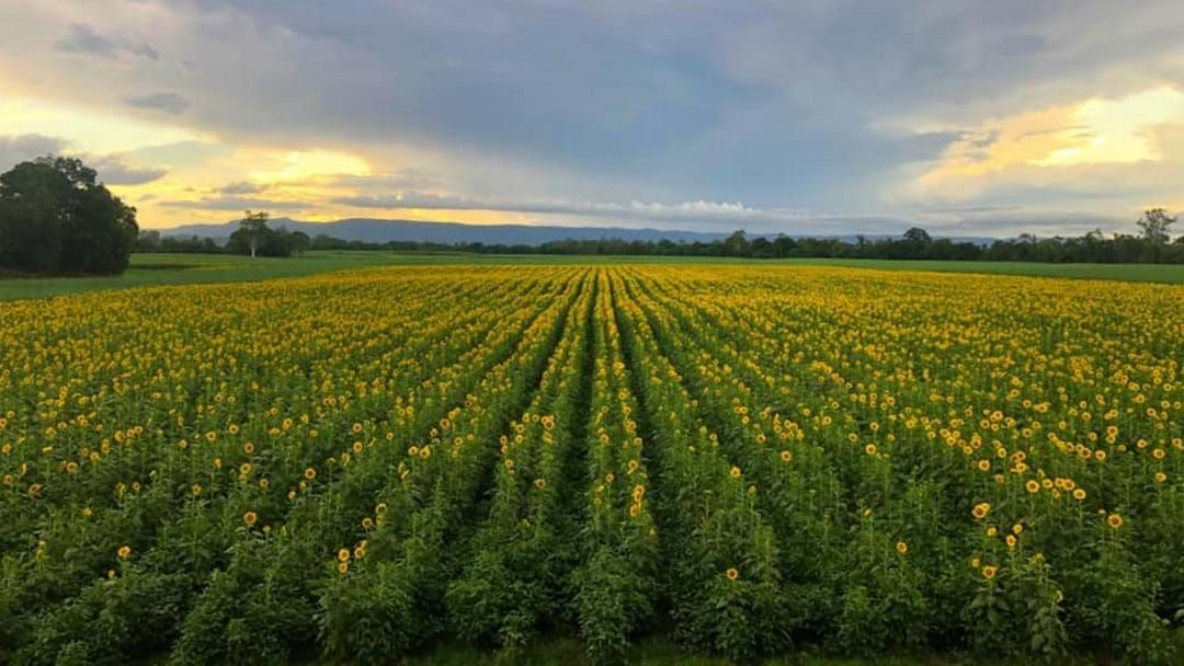 Article heading image for Heads Turning With Ingham's Sunflower Paddock Returning