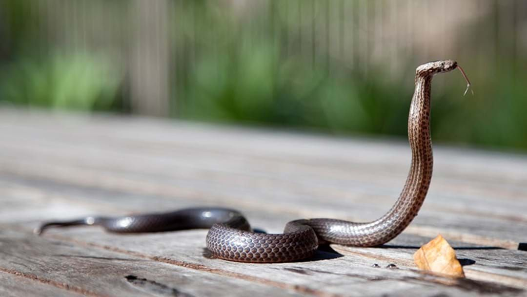 Article heading image for QLD Student In Hospital After Snake Bite