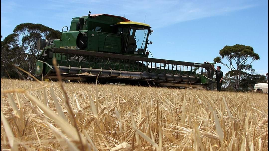 Article heading image for WA barley price drops dramatically... will it recover?