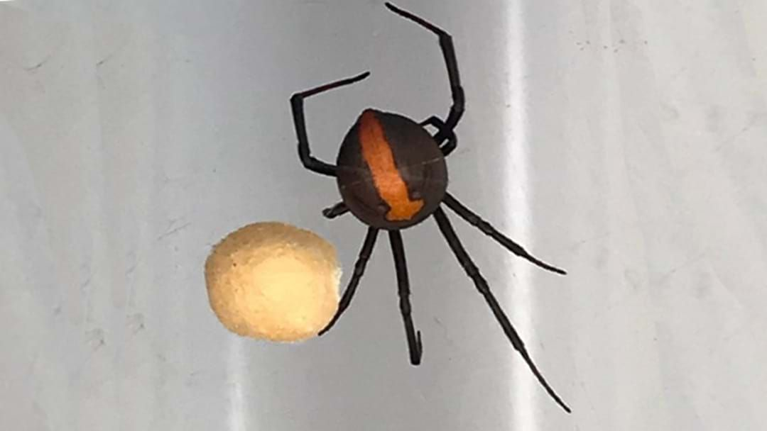 Article heading image for Aussie Family Finds Redback Spider The Size Of A Golf Ball On Boxing Day