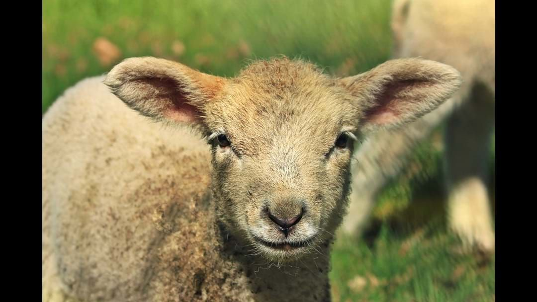 Article heading image for Sheep farmer fined for sheep cruelty